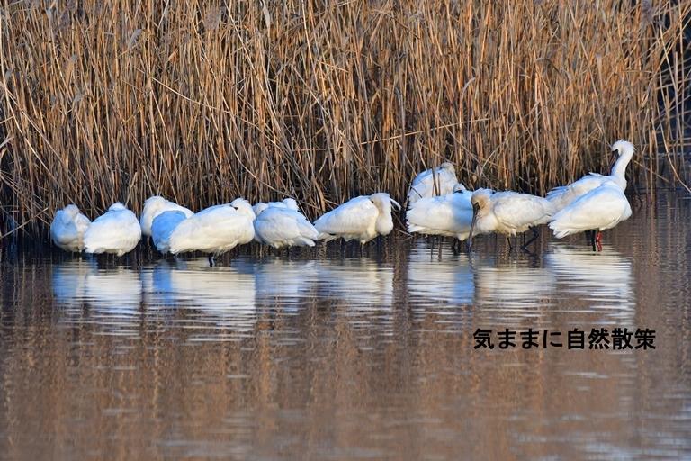 クロツラヘラサギ須崎調整池 (4)