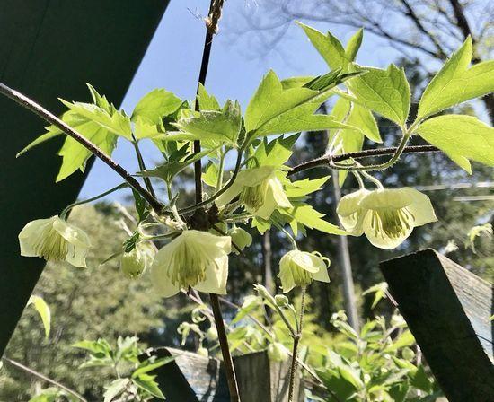 4,21白花ハンショウヅル-1