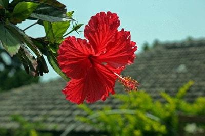 hibiscus-787030_640-min.jpg