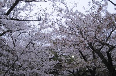 桜0401