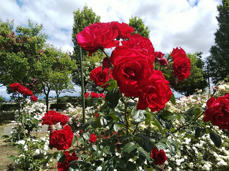 赤いバラ1805