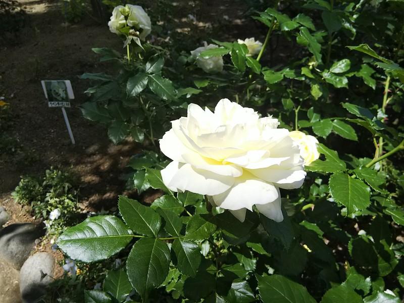 白いバラ(アップ)1805