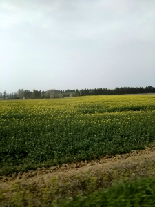 2018菜の花畑