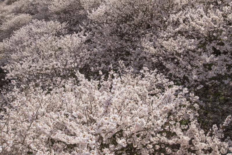 春めき桜4_338