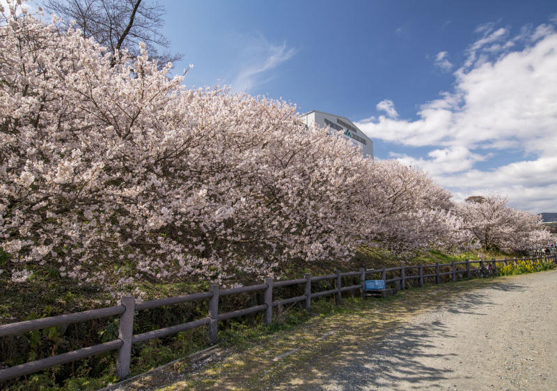 春めき桜1_335