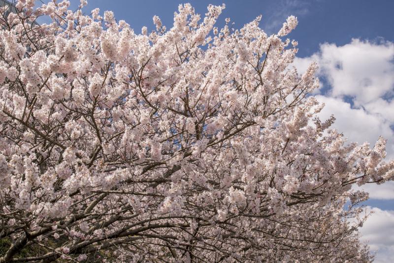 春めき桜2_336
