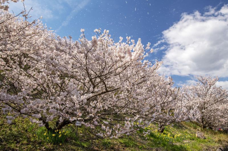 春めき桜3_337