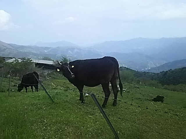 黒牛と天狗高原