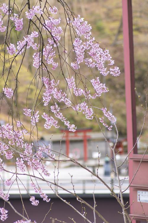桜と鳥居・日光(栃木)・2015・4・18・17時10分・500px・フォトック