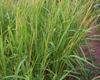 アフリカ稲グラベリマの穂相