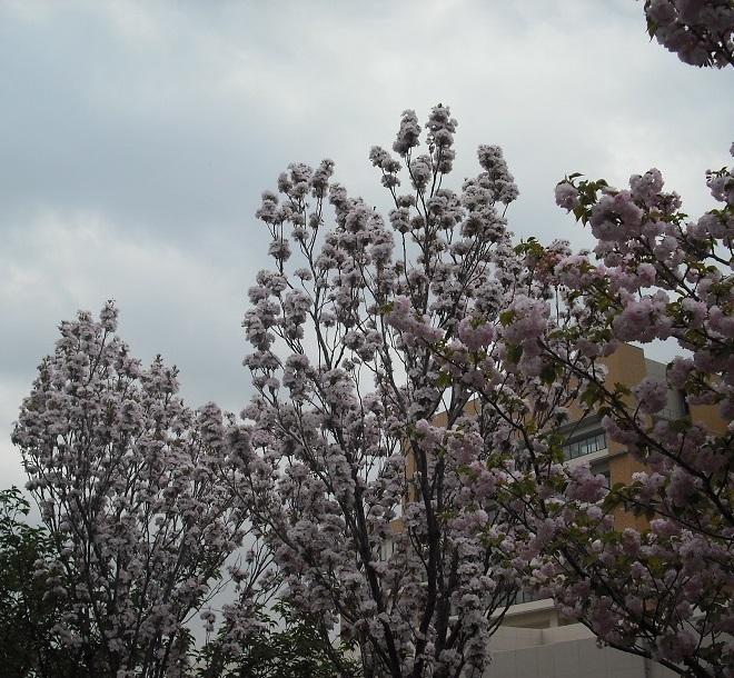 桜・天の川01