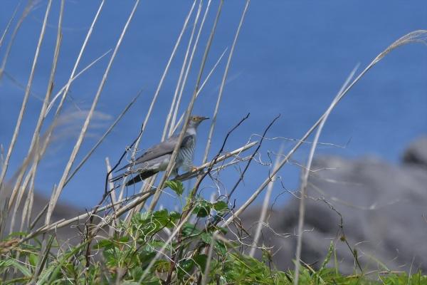 カッコウ2011805離島