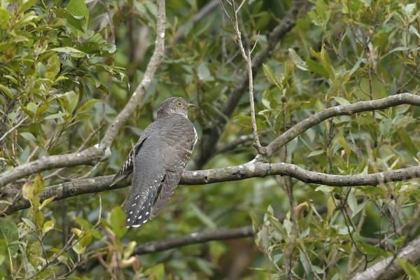 ギンイチモンジセセリ♀20180419-2