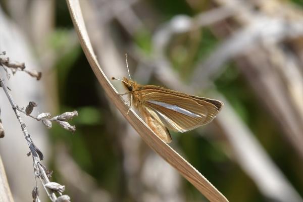 ギンイチモンジセセリ♀20180419-3