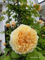 アトリエ✳︎ジェムカフェ薔薇 クラウン プリンセス マルガリータ