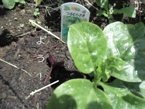 ツルムラサキ,苗,家庭菜園