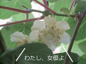 キウイフルーツ,人工授粉,三日目