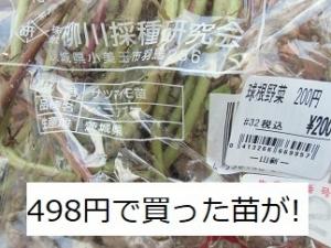 サツマイモ,紅あずま,苗,特売