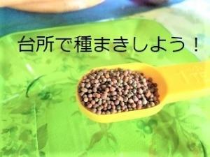 ブロッコリースプラウト,種