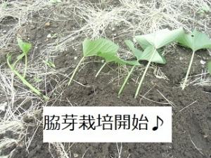 サツマイモ,苗,脇芽栽培
