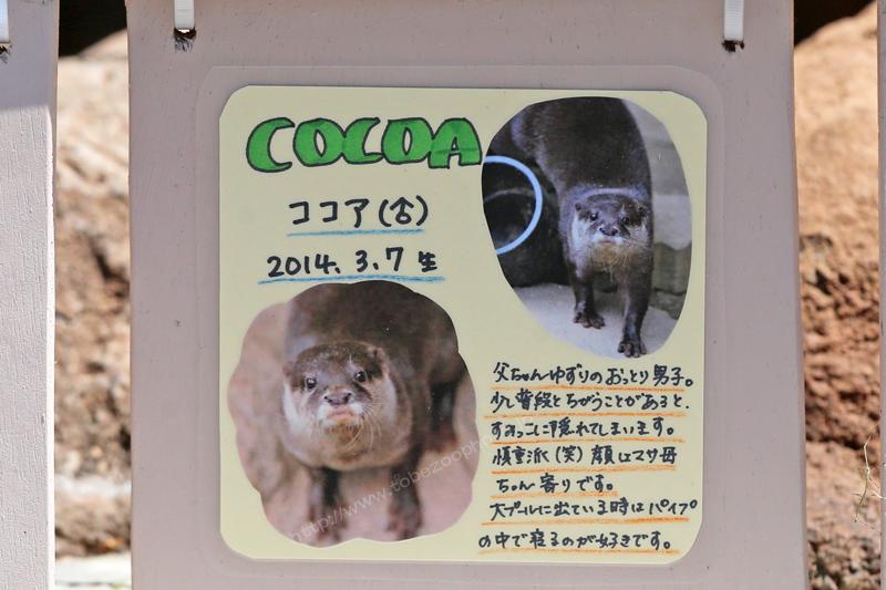 COCOA ココア(♂) 2014.3.7生 写真付き手作り看板