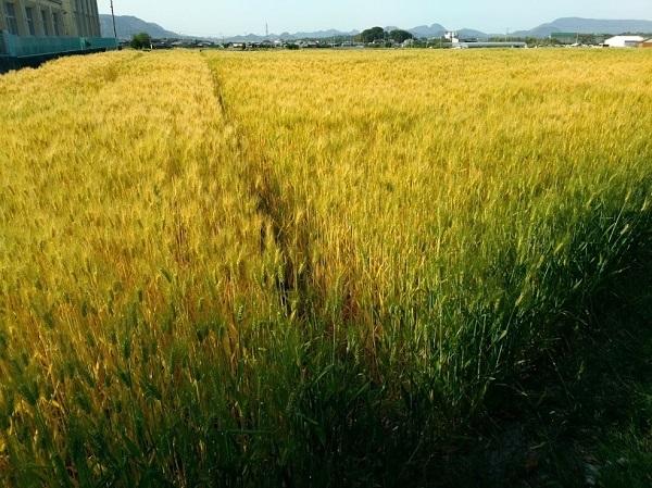 19_komugihatake.jpg
