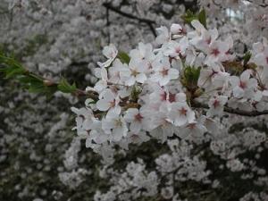 180423桜アップ