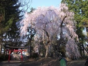 180426大星神社大枝垂れ桜1