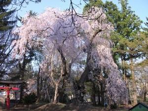 180426大星神社大枝垂れ桜2