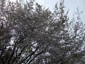 180510桜