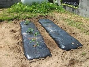 180529トマト東列植え付け