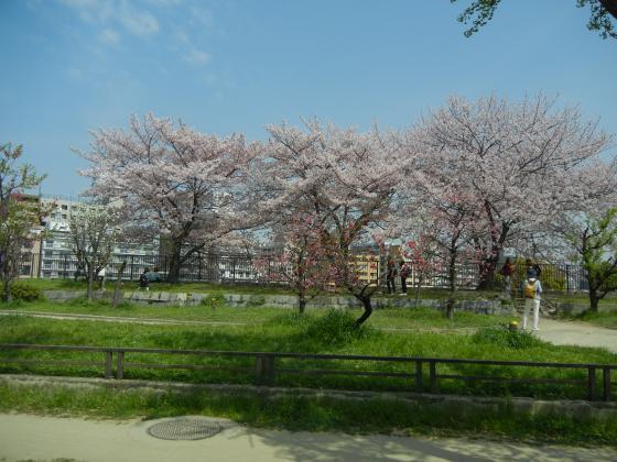 トレインからの桜