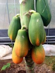 papaya[1]_convert_20180518151459