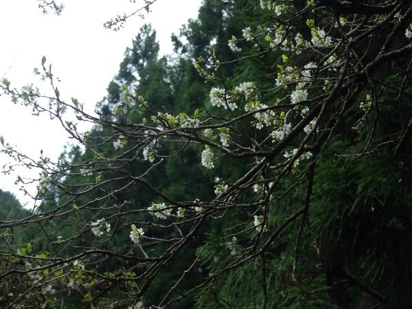 0411山桜
