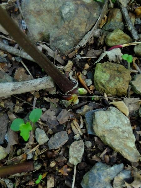 0515レンゲショウマ1-芽