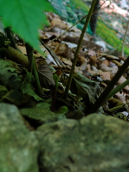0515レンゲショウマ2-芽