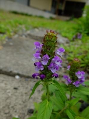 0528ウツボグサ紫