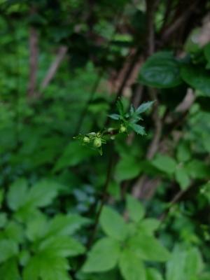 0528レンゲショウマの花芽