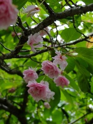0606八重桜