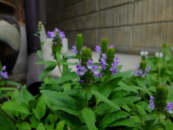0606ウツボグサ紫a