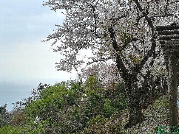 okubiwako2-sakura-016.jpg