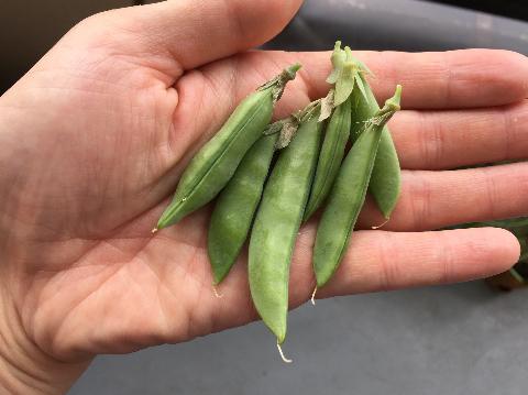 20180526 えんどう豆④