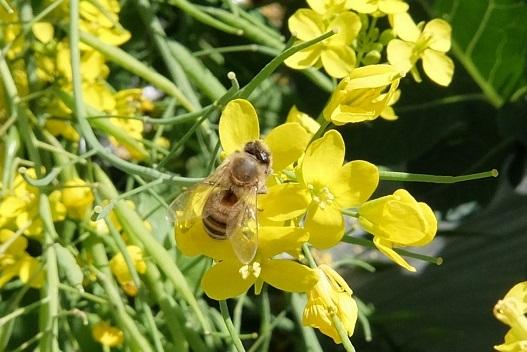 20180416_蜜蜂2