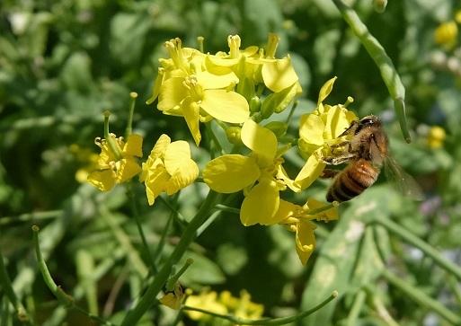 20180416_蜜蜂3