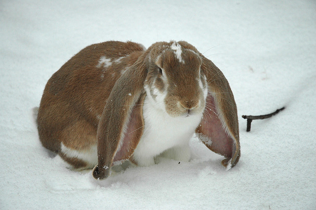 English_Lop_Rabbit.jpg