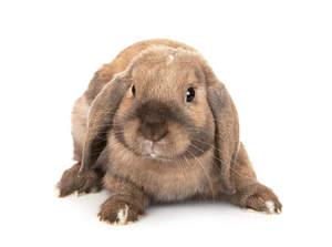Rabbit-Dwarf_Lop-A.jpg