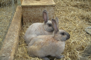 enderby-island-rabbit.jpg