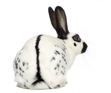 english-spot-rabbit-1.jpg