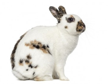english-spot-rabbit-2.jpg
