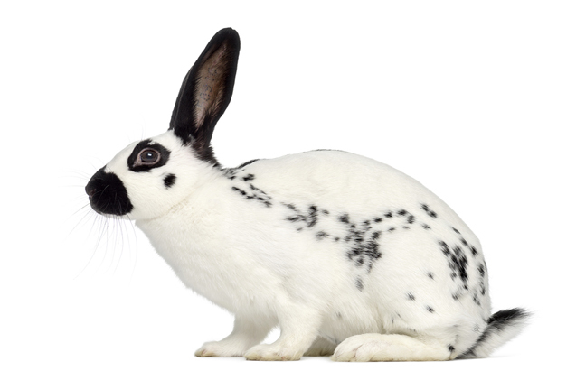 english-spot-rabbit.jpg
